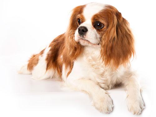 Cavalier King Charles Spaniel Dog Lgn on 02 Cavalier Problems