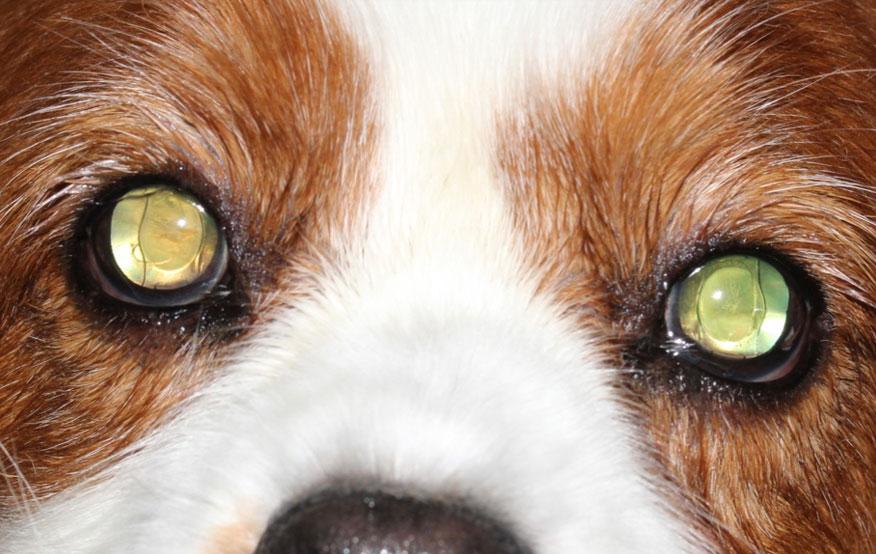 Canine Cataract Surgery