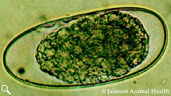 Trichostrongylus egg